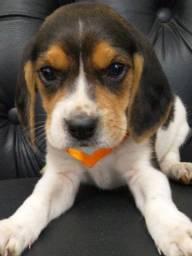 Beagle machinho a pronta entrega