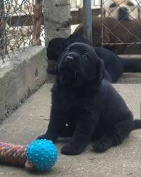 Labrador, na maior e melhor rede do Brasil em 12x sem juros