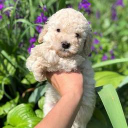 Poodle toy lindos filhotes raça pura