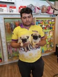 Filhotes de pug disponiveis em 12x SEM JUROS