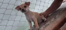 Vendo filhote de Chihuahua macho.