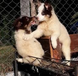 Border Collie o cão mais inteligente do mundo