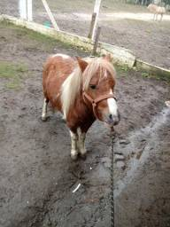 Mini ponei (mini horse)
