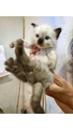 Gatinhos lindos para adoção, menos de 3 meses