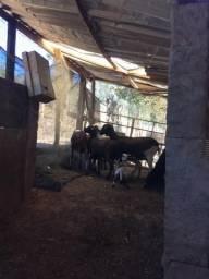 7 ovelhas