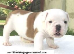 Bulldog Inglês vanila baby puppies procedencia valor justo !