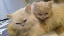 Vendo gato persa macho