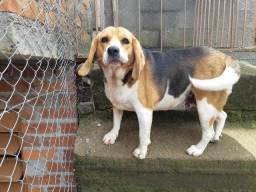 Beagle castrada!