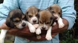 Beagle inglês//Canil Canaã/ RN