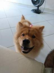 Cachorra Chow Chow