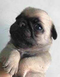 Vendo Pug macho