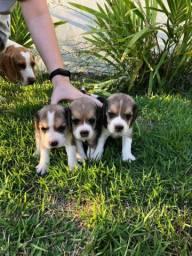 Beagle Mini/ top/ @canilcanaa