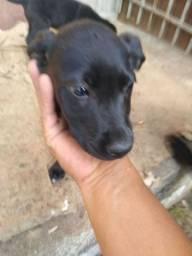 Labradora mestiço