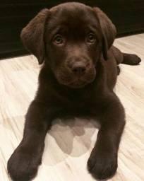 Labrador, Filhotes disponíveis, confira