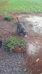 Pittbull american stanfordshire terrier blue