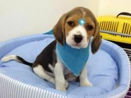 Beagle macho para voce e sua família