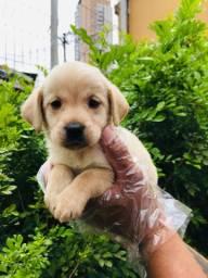Labrador Filhotes a Pronta Entrega