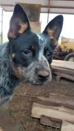 Vende-se linda cadela boiadeiro australiana