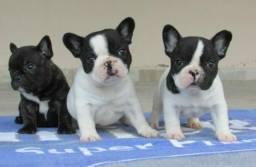 Bulldog francês Fêmea e machinho com garantia de vida e pureza