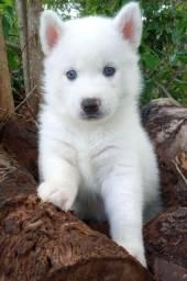 Husky Siberiano Filhotes de olhos azuis, Canil Serafim, pedigree, vacinados, genética top