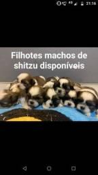 Título do anúncio: Filhote de shitzu