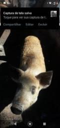 Porco barrão