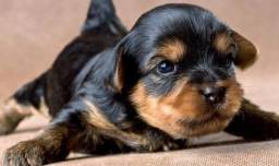 Yorkshire Terrier Macho Parcelamos em Ate 12 Vezes