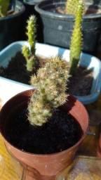 Cacto Mammilaria Prolifera
