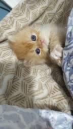 Persa filhotes de gato