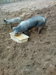 Porco 4 pernil