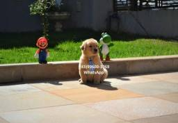 Filhotes de Golden Retriever com garantia !!*-*/+^