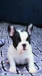 Bulldog Francês de alto padrão para clientes exigentes