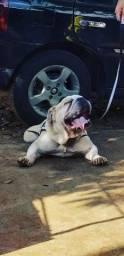 Vendo Bulldog inglês