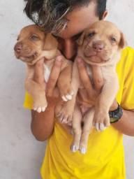 Vendo filhotes de Pitbull com Labrador
