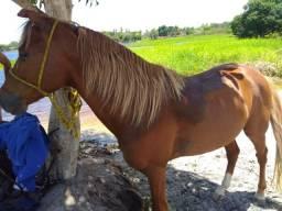 Vendo um cavalo de passeio, muito bom