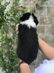 Border Collie a pronto entrega. (11)9.7796.1054
