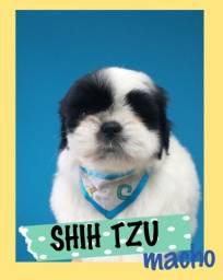Fantasticos filhotes de Shih tzu