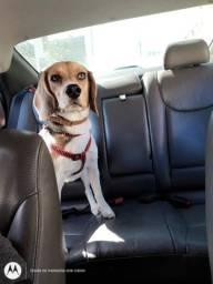 Vendo filhote beagle puro. R$ 1200,00
