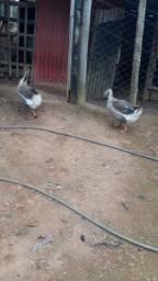 Vendo casal de ganso africano
