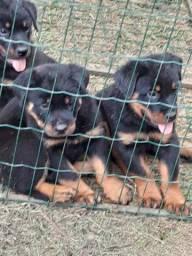 Vende-se filhote de rottweiler