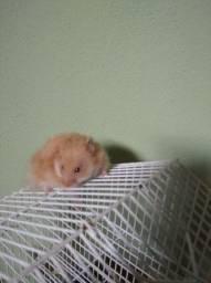 Casal de hamster syrio e angorá
