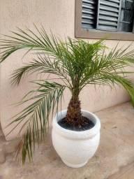 Linda palmeira fenix no vaso decorado!