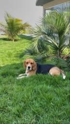 Procuro fêmea beagle pra cruzar