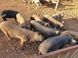 Porcos Caipiras 1500 kg
