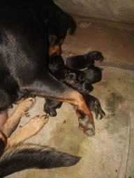 rottweiler 100% puro... Fotos pai e mãe e filhotes
