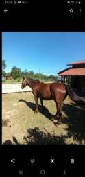 Cavalo tostado manso e bom de laço