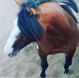 Cavalo crioulo - Reprodutor