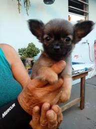 Fêmea de Chihuahua em Matinhos pr