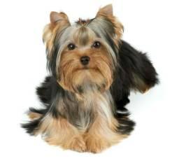 Vendo filhotes de cachorro Yorkshire Terrier