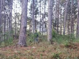 Floresta de Pinus Elliotti para Resina (arrendamento) ou venda das árvores